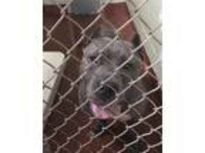Adopt a Pit Bull Terrier / Mixed dog in Covington, GA (25633289)