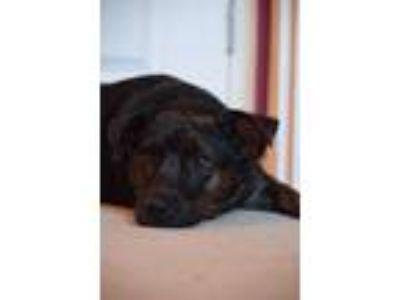 Boston Terrier - Macon Classifieds - Claz org