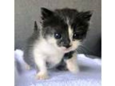 Adopt Araxi a Gray or Blue (Mostly) Domestic Shorthair (short coat) cat in