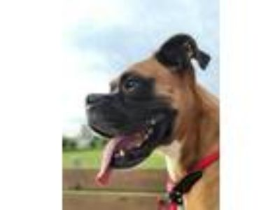 Adopt Frank a Brown/Chocolate Boxer / Terrier (Unknown Type