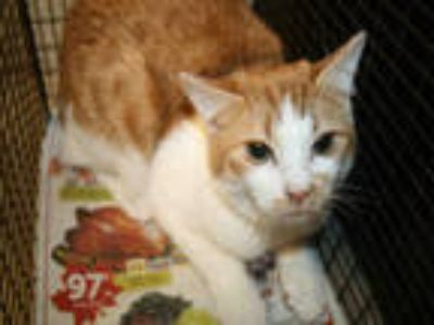 Adopt GW a Orange or Red (Mostly) Domestic Shorthair / Mixed (short coat) cat in