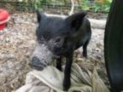 Adopt Piney-Rooter Pig a Pig (Farm) farm-type animal in Christmas, FL (25778303)