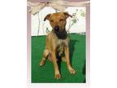 Adopt SHANTI a Tan/Yellow/Fawn Labrador Retriever / Mixed dog in Marietta