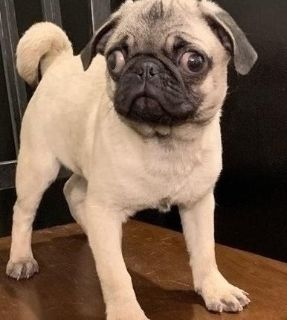 Fascinating Pug puppies available