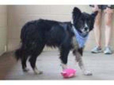 Adopt Lexington a Border Collie