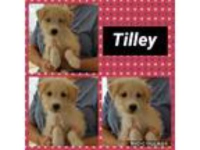 Adopt Tilley a Tan/Yellow/Fawn Poodle (Miniature) / Mixed dog in Ringwood