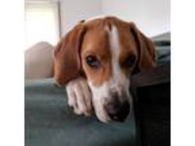Adopt Cash a Treeing Walker Coonhound, Mixed Breed