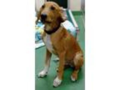 Adopt Jax a Tan/Yellow/Fawn Hound (Unknown Type) / Mixed dog in The Colony