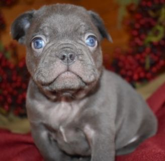 French Bulldog PUPPY FOR SALE ADN-103909 - XMAS Frenchie Pups