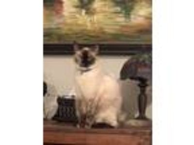 Adopt Gracie Lou a Tortoiseshell Siamese cat in Pineville, NC (25328809)