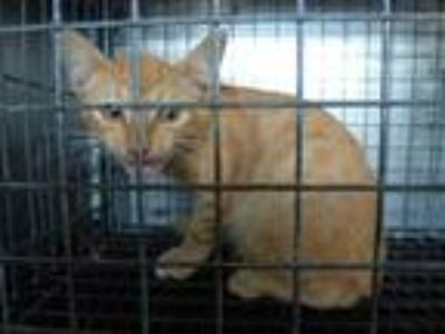 Adopt LOGAN a Orange or Red Domestic Shorthair / Mixed (short coat) cat in