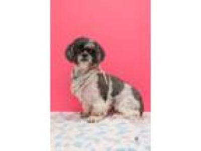 Adopt Bonnie a Shih Tzu / Mixed dog in Madison, GA (25904839)