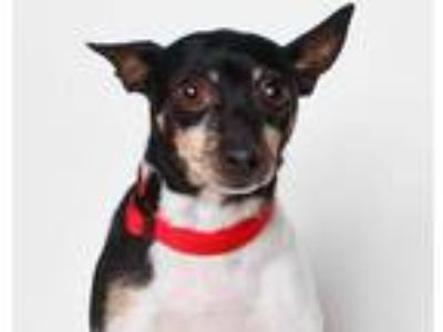 Adopt SUKI a Black - with White Rat Terrier / Mixed dog in Santa Cruz