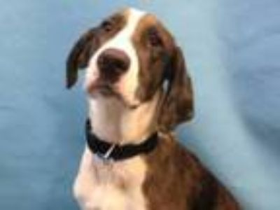 Adopt Bandit a Hound, Mixed Breed