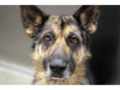 Adopt RAM a Black - with Gray or Silver German Shepherd Dog / Mixed dog in