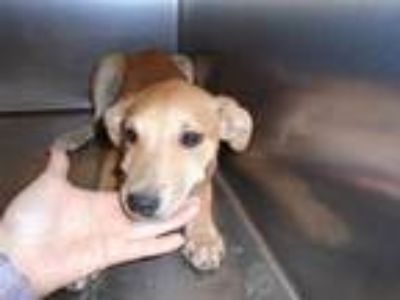 Adopt Dog a Tan/Yellow/Fawn Labrador Retriever / Mixed dog in Thousand Palms