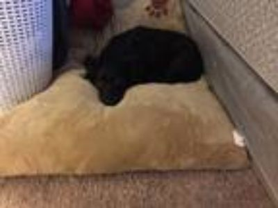 Adopt Katie a Black Border Collie / Mixed dog in Austin, TX (23768963)