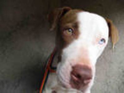 Adopt MILLER a White - with Black American Pit Bull Terrier / Mixed dog in