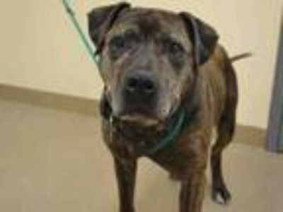 Adopt RUSTY a Boxer, Mixed Breed