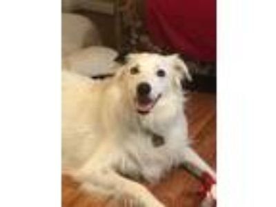 "Adopt Potter""I've Been Adotped"" a Black - with White Border Collie / Mixed dog"
