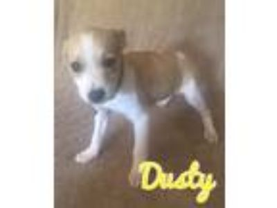 Adopt Jack Russell Terrier mix puppi a White - with Brown or Chocolate Jack
