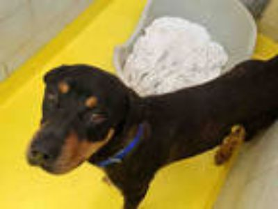 Adopt ROSCOE a Black - with Brown, Red, Golden, Orange or Chestnut Rottweiler /