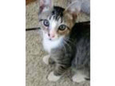 Adopt Andy a Domestic Short Hair, Tabby