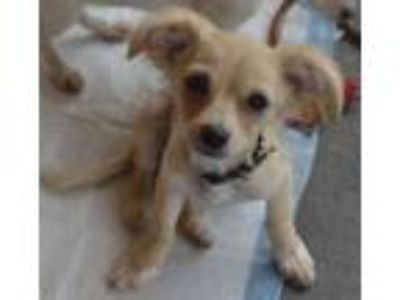 Adopt Hemingway (Toy) a Dachshund, Jack Russell Terrier