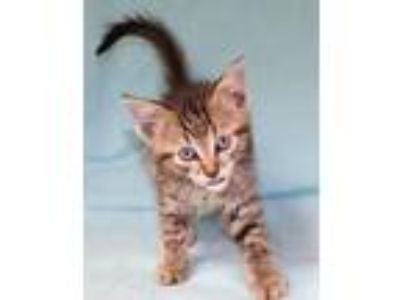 Adopt Whiskers a Gray or Blue American Shorthair (medium coat) cat in Forrest