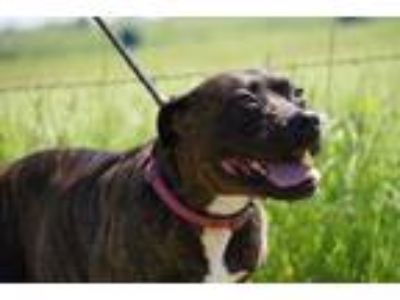 Adopt Jinx a Brown/Chocolate American Pit Bull Terrier / Mixed dog in Justin