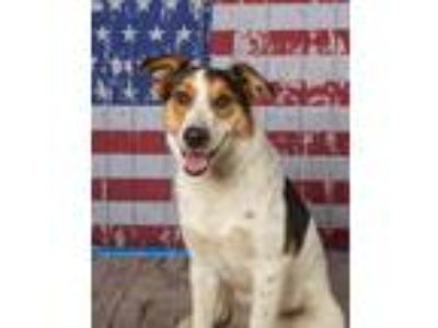 Adopt SCOUT a Australian Cattle Dog / Blue Heeler, Shepherd