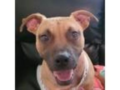Adopt Petey a Brown/Chocolate Pit Bull Terrier dog in Ola, AR (24979402)