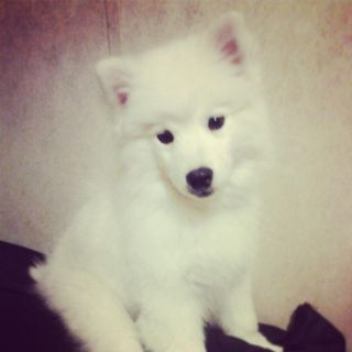 6 month old American Eskimo