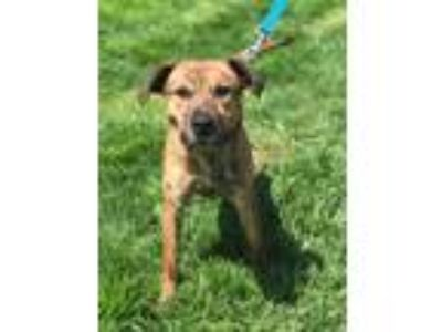 Adopt Tommy a Hound, Pit Bull Terrier