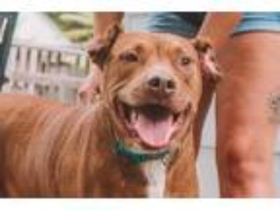 Adopt Bella a Tan/Yellow/Fawn Pit Bull Terrier / Mixed dog in Merriam