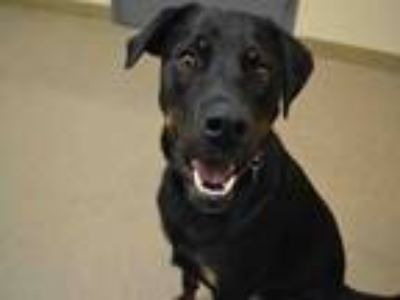 Adopt BELLA a Rottweiler, Mixed Breed