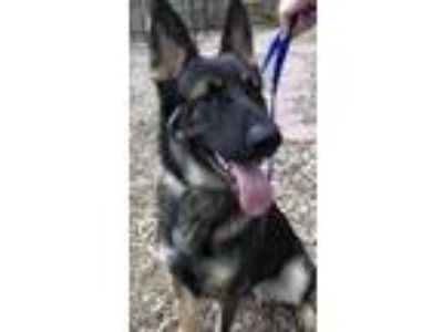 Adopt Major a German Shepherd Dog