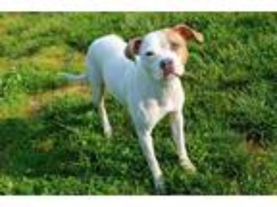 Adopt SWEETS a White - with Tan, Yellow or Fawn Boxer / Mixed dog in Louisville