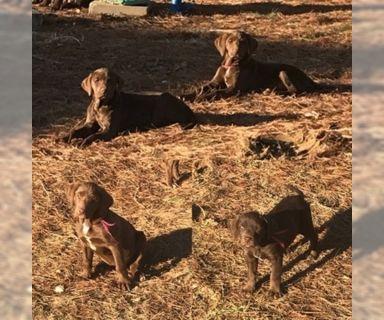 Labrador Retriever PUPPY FOR SALE ADN-120978 - Registered Chocolate Lab Puppies