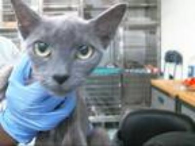 Adopt a Gray or Blue Domestic Shorthair / Mixed (short coat) cat in Pasadena