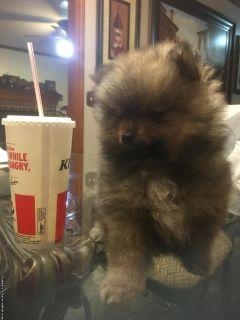 AKC wolf sable Pomeranian puppy