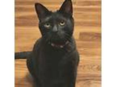Adopt Dazzle a All Black Domestic Shorthair / Mixed cat in Garner, NC (23496095)