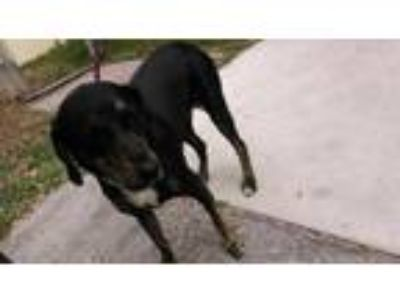 Adopt JANE a Black and Tan Coonhound, Mixed Breed