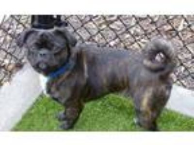 Adopt BRUNO a Brindle - with White Pug / Mixed dog in Minneapolis, MN (25339893)