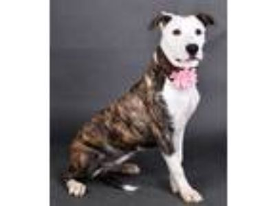 Adopt Darcy a Brindle American Pit Bull Terrier / Mixed dog in Irving