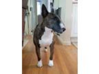 Adopt Piper a Brindle - with White Bull Terrier / Mixed dog in Lititz