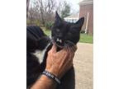 Adopt eagle a Black (Mostly) American Shorthair / Mixed cat in Louisville