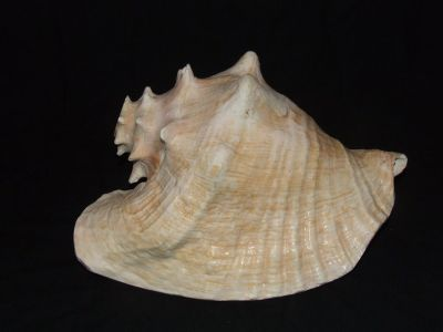 Large Queen Pink Conch Shell Horn