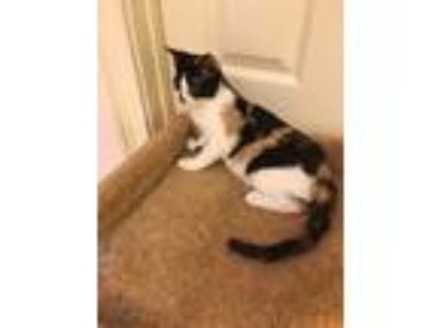 Adopt Shilo a Calico or Dilute Calico Domestic Shorthair (short coat) cat in