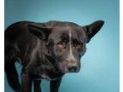 Adopt Kel a Black German Shepherd Dog / Australian Cattle Dog / Mixed dog in